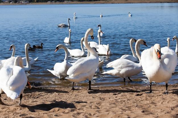 Grupo de cisnes na primavera, belo grupo de aves aquáticas pássaro de cisne no lago na primavera, lago ou rio com cisnes que chegaram à costa