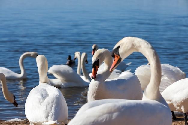 Grupo de cisnes na primavera, belo grupo de aves aquáticas pássaro de cisne no lago na primavera, lago ou rio com cisnes