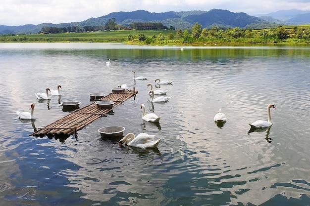 Grupo de cisnes no parque de singha chiang rai, tailândia