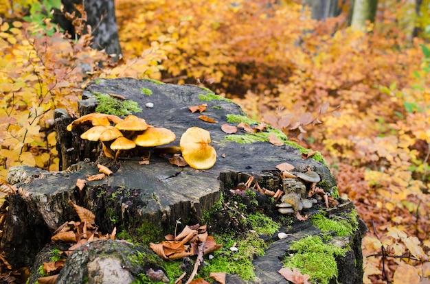 Grupo de cogumelos em um toco em uma bela floresta de outono com folhas cogumelo selvagem em um toco de abeto