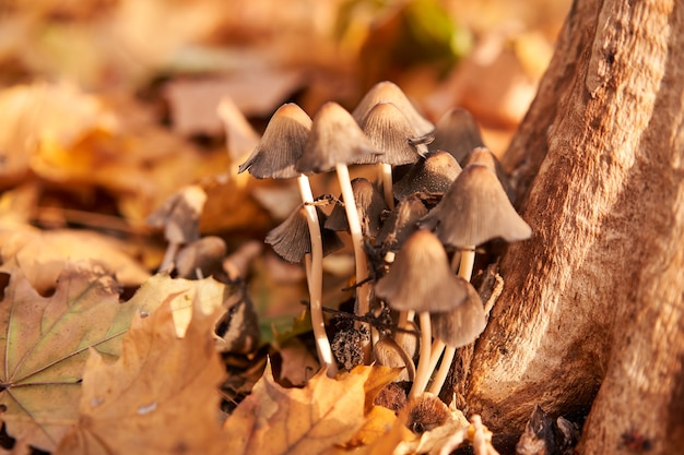 Grupo de cogumelos venenosos cresce nas folhas de outono perto da árvore. cogumelo fada fungo cogumelo venenoso cogumelo fundo
