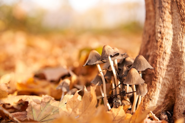 Grupo de cogumelos venenosos cresce nas folhas de outono perto da árvore