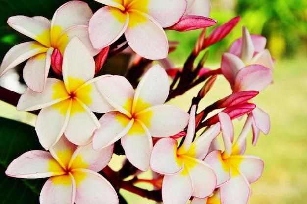 Grupo, de, cor-de-rosa, plumeria, flor, ligado, ramo, árvore, folha, fundo
