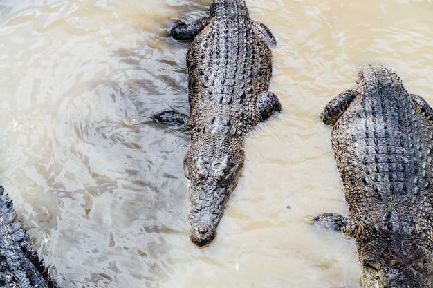 Grupo de crocodilos na água em uma reserva de vida selvagem