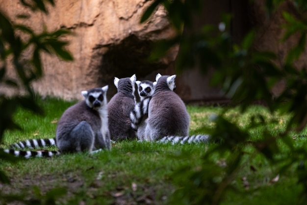 Grupo de descanso do lemur ring-tailed visto entre árvores em madagasacar. lemuridae do catta do lêmure.