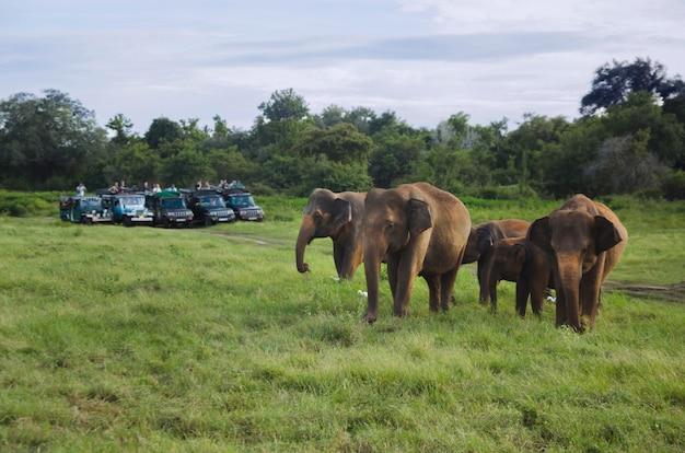 Grupo de elefantes asiáticos no sri lanka