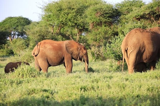 Grupo de elefantes no parque nacional tsavo east, quênia, áfrica