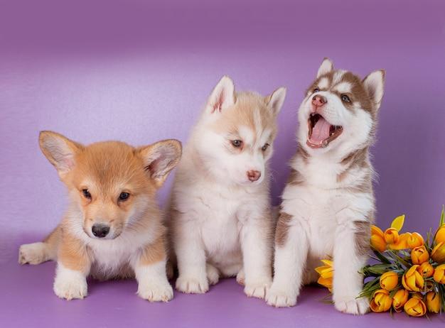 Grupo de filhotes de husky siberiano e corgi com flores