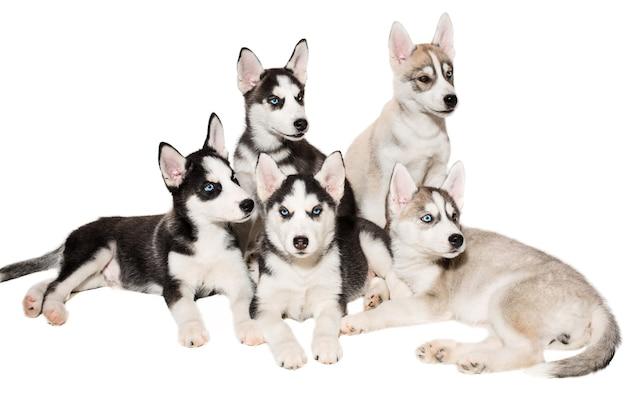 Grupo de filhotes reproduzem os huskies isolados no fundo branco. os cachorros mais carismáticos