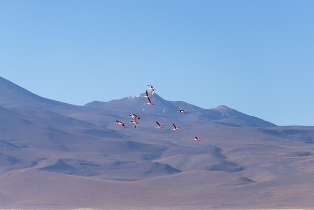 Grupo de flamingo rosa sobrevoando os andes bolivianos