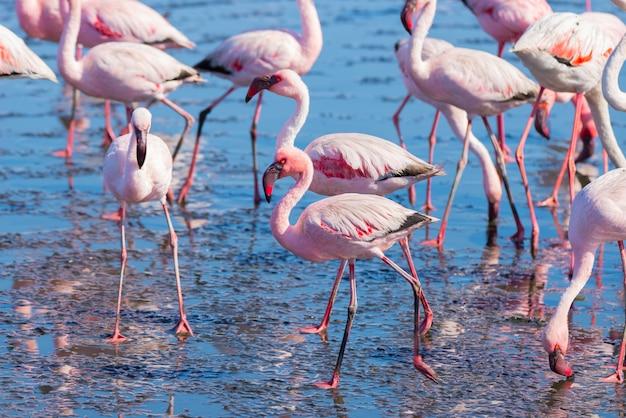 Grupo de flamingos cor-de-rosa no mar na baía de walvis, namíbia, áfrica.