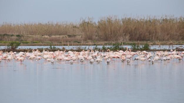 Grupo de flamingos cor de rosa (phoenicopterus roseus) na alfufera de valência.