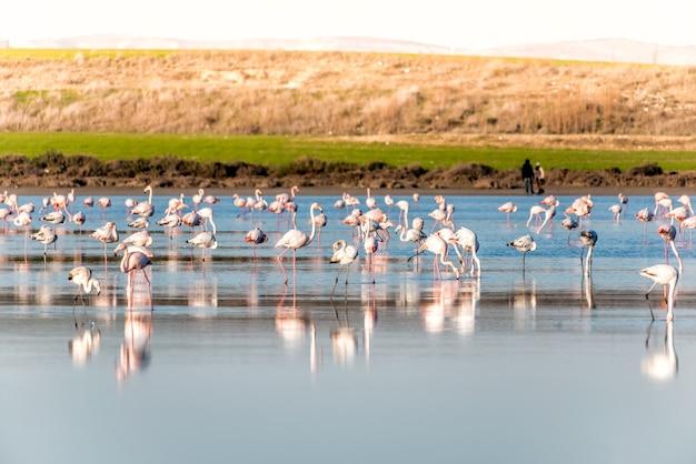 Grupo de flamingos se alimentando no lago salgado de larnaca, chipre
