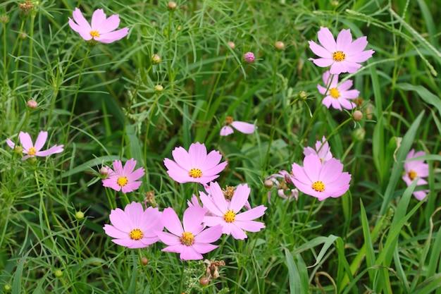 Grupo de flor de cosmos-de-rosa e roxo no jardim