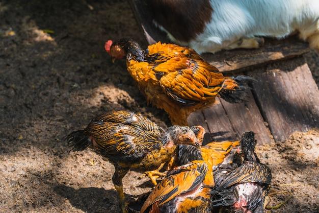 Grupo de frango deitado no chão