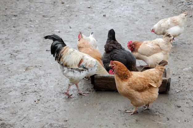 Grupo de galinhas ao ar livre, comer fora em uma fazenda