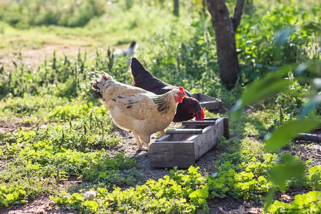 Grupo de galinhas domésticas comendo grãos