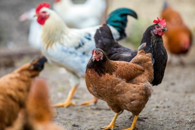 Grupo de galinhas vermelhas e pretas saudáveis crescidas e alimentação de passeio exterior do galo branco grande no pátio das aves domésticas no dia ensolarado brilhante.