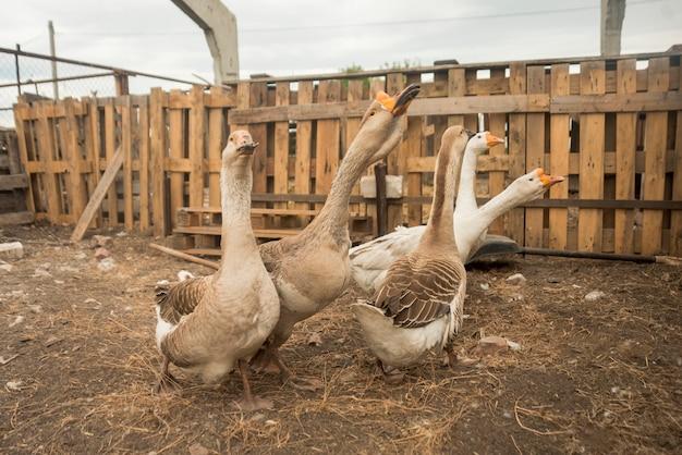 Grupo de gansos em uma fazenda