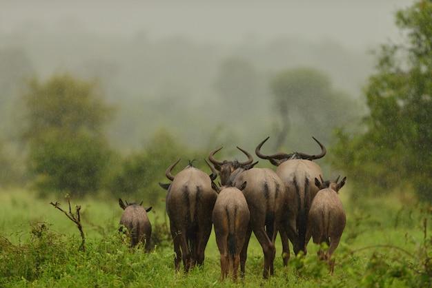 Grupo de gnus indo embora em um campo coberto de grama sob a chuva