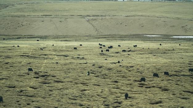 Grupo de iaque na terra de vidro