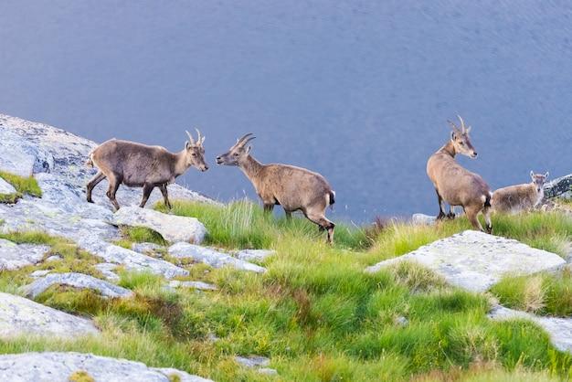 Grupo de íbex empoleirado na rocha, olhando para a câmera com lago azul
