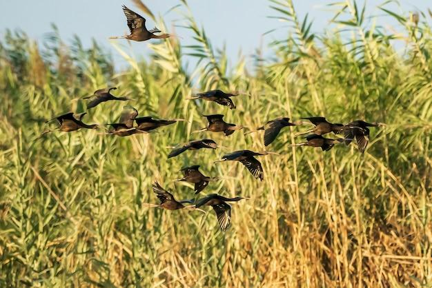 Grupo de ibis brilhante (plegadis falcinellus) nos arrozais ao pôr do sol em albufera de valencia, valência, espanha.