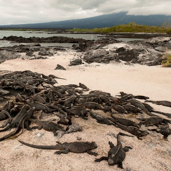 Grupo de iguanas marinhas (amblyrhynchus cristatus) na praia, punta espinoza, fernandina island, ilhas galápagos, equador