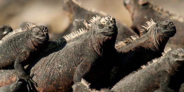 Grupo, de, iguanas marinho, (amblyrhynchus, cristatus), punta, espinoza, fernandina, ilha, ilhas galapagos, equador