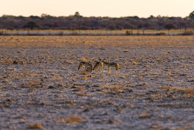 Grupo de jackals suportados preto na bandeja do deserto no por do sol.
