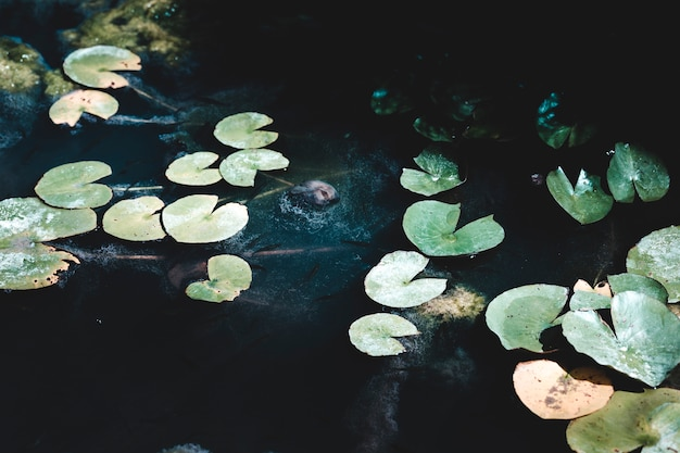 Grupo de lillies de água escura