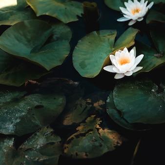Grupo de lírios de água e flores brancas