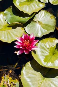 Grupo de lírios de água e uma flor