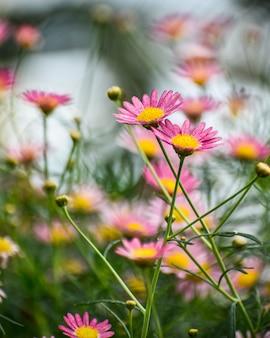 Grupo de margaridas marguerite rosa (argyranthemum frutescens)