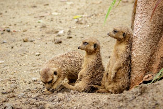 Grupo de meerkat (suricata suricatta) no fundo da natureza. animais selvagens.