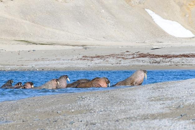 Grupo de morsas descansando na costa do mar ártico.