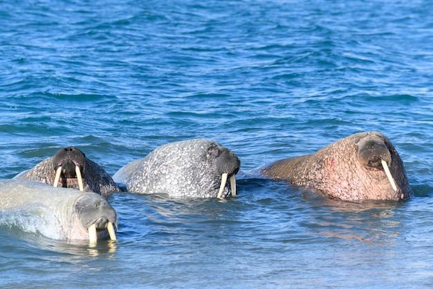 Grupo de morsas na água, close-up. mamífero marinho do ártico.
