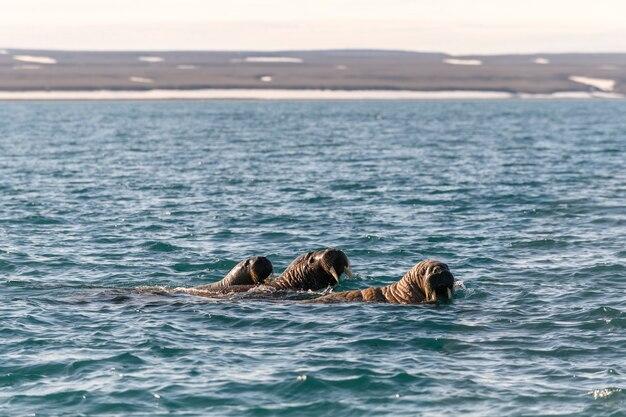 Grupo de morsas nadando no mar ártico.