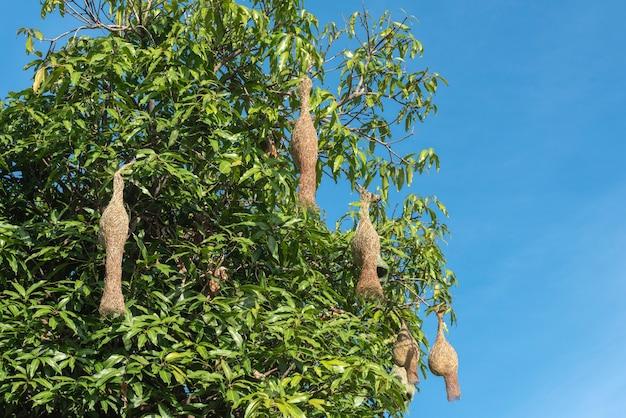 Grupo de ninhos de pássaros de arroz espera na árvore