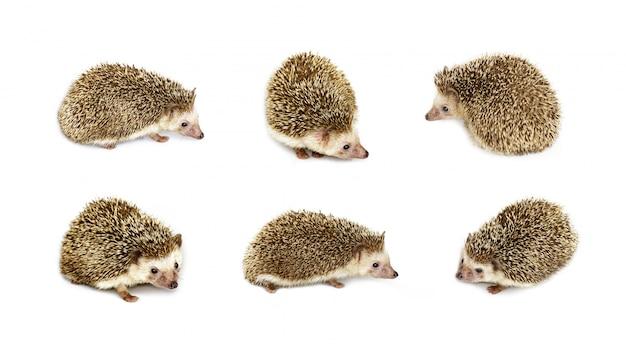 Grupo de ouriço pequeno isolado. animais selvagens.