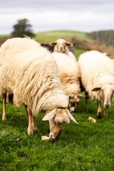 Grupo de ovelhas comendo pão e curtindo a natureza em um prado verde na cantábria, norte da espanha