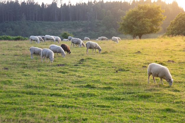 Grupo de ovelhas e cordeiros em um pasto com grama verde