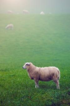 Grupo de ovelhas em um prado verde nebuloso