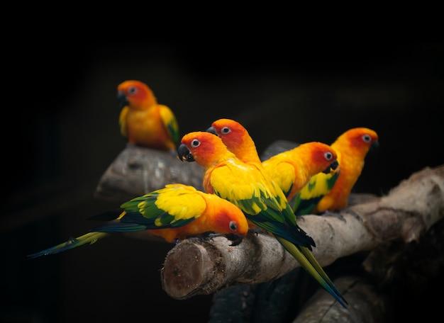 Grupo de pássaro papagaio sunconure