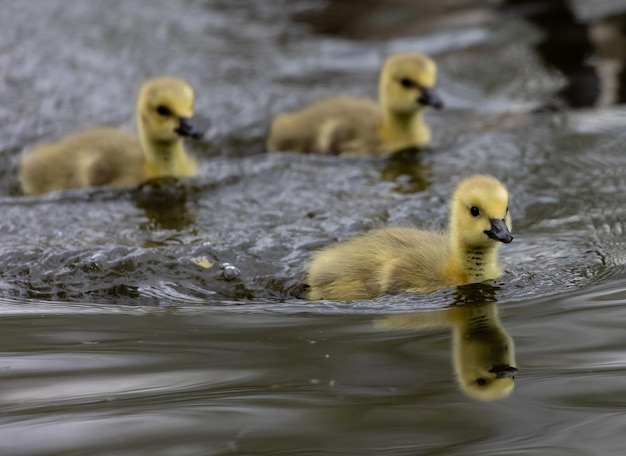 Grupo de patinhos em uma lagoa