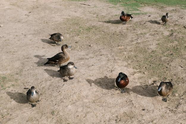Grupo de pato andando