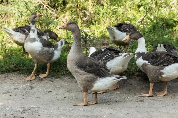 Grupo de patos domésticos na natureza com asas esticadas