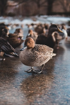 Grupo de patos marrons em um parque