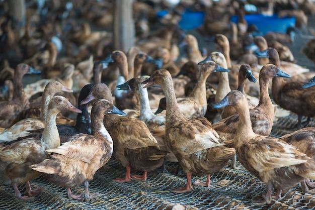 Grupo de patos na exploração agrícola, cultivo tradicional em tailândia.