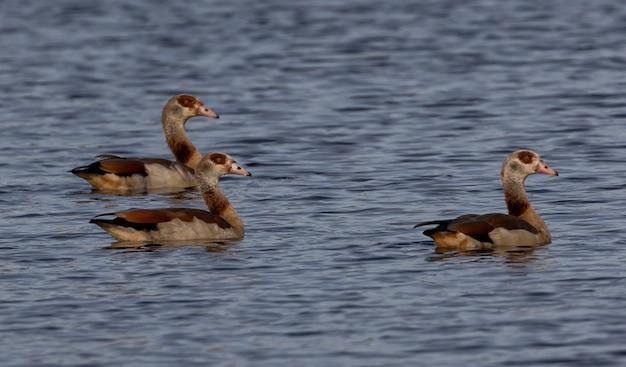 Grupo de patos nadando em um lago
